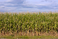 Maize field with cloudy sky Royalty Free Stock Images