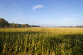 Maize field extensive almost ready for harvest under a blue sky in autumn Royalty Free Stock Images