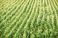 Maize field large green of corn growing up Royalty Free Stock Photography
