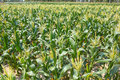 Maize field the scenery of Royalty Free Stock Photos