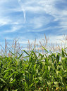 Maize field and sky. Stock Photos
