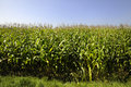 Maize field in summer Stock Image