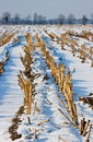 Maize field in winter Stock Photography