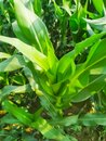 Maize green leaf of a plant or flower. Pure nature close up. Nepal Royalty Free Stock Photo