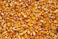 Maize kernels Royalty Free Stock Photo