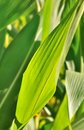 Maize leaves verdant under the sun Royalty Free Stock Image