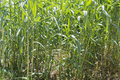 Maize plants mosaic background of Royalty Free Stock Photos