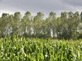 Maize and poplar landscape Stock Image