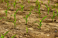 Maize seeding 2 Royalty Free Stock Photo