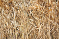 Maize straw Royalty Free Stock Photo