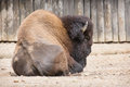 Majestic american bison bison bison rear view Stock Photos