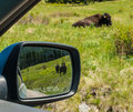 Majestic american bison at the national range in montana usa as seen through the window af a car and mirror Stock Images