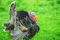 Majestic big turkey beautiful on background of green grass Stock Images