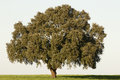 Majestic cork tree alone in the alentejo landscape portugal Royalty Free Stock Photo