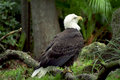 Majestic Eagle Royalty Free Stock Photos
