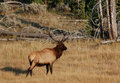 Majestic Elk Royalty Free Stock Photo
