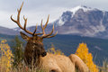 Majestic elk a sits on a grassy knoll in front of a snow capped mountain Stock Photography