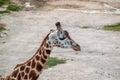 Majestic giraffe in the wild Royalty Free Stock Image