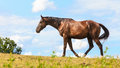 Majestic graceful brown horse in meadow. Royalty Free Stock Photo
