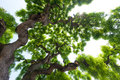 Majestic, green crown of tall, large elm tree with gnarled, twis Royalty Free Stock Photo