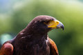 Majestic harris hawk close up portrait of a Stock Photo
