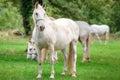 Majestic horses undrer rain Royalty Free Stock Photo