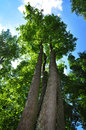 Majestic maple tree summer nature forest Stock Photography