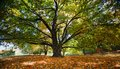 Majestic Maple Tree Trunk and Branches Virginia Royalty Free Stock Photo