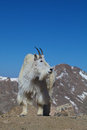 Majestic mountain goat a stands in the high alpine Royalty Free Stock Photos