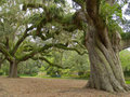 Majestic Oak Stock Images