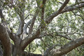 Majestic Old Live Oak Tree Stock Images