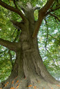 Majestic old tree Royalty Free Stock Photo