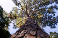 Majestic pine tree looking up the trunk of a tall with large gnarly branches filling the sky Royalty Free Stock Photos
