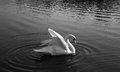 Majestic swan plumes on the lake Royalty Free Stock Image