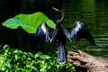 A majestically posed anhinga anhinga anhinga aka darter snakebird or water turkey using his shadow to hunt for fish in brazos bend Royalty Free Stock Images