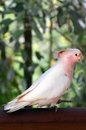 Major Mitchell Cockatoo Royalty Free Stock Photo