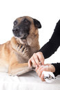 Making a paw bandage. First aid for a dog. Royalty Free Stock Photo
