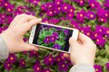 Making photos and video on mobile phone, smartphone. Closeup hands making photo of pink purple flowers in garden Royalty Free Stock Photo