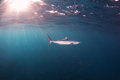 Mako Shark Royalty Free Stock Photo