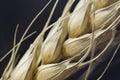 Makro der Weizenanlage Stockfotografie