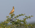 The Malabar lark perched on a Shailendra Tree. Royalty Free Stock Photo