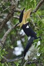 The Malabar pied hornbill , also known as lesser pied hornbill Royalty Free Stock Photo