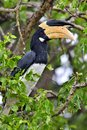 The Malabar pied hornbill Anthracoceros coronatus Royalty Free Stock Photo