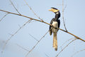 Malabar pied Hornbill Royalty Free Stock Photo
