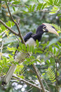 Malabar Pied Hornbill closeup Royalty Free Stock Photo