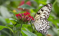 Malabar Tree Nymph Butterfly on flower Royalty Free Stock Photo