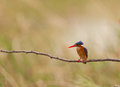A Malachite KIngfisher Royalty Free Stock Image