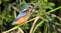 Malachite Kingfisher Royalty Free Stock Photos