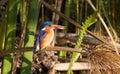 Malachite Kingfisher Royalty Free Stock Photo