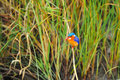 Malachite Kingfisher (Alcedo cristata) Royalty Free Stock Photo